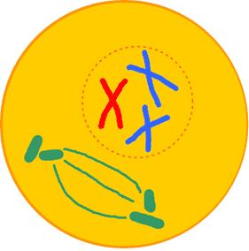 Célula animal em prófase.