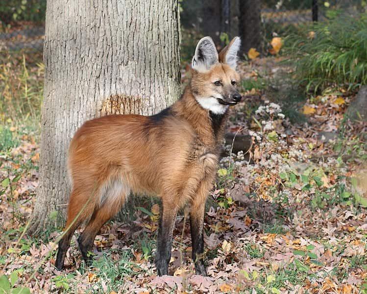 Lobo-Guará, um exemplo de um canídeo onívoro que pode ocupar níveis tróficos diferentes em cadeias alimentares.