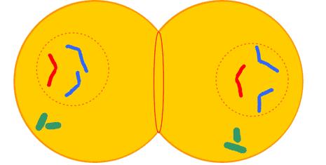 Célula animal em telófase. Acima, a citocinese por estrangulamento.