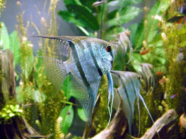 Pterophyllum scalare, um peixe ósseo.