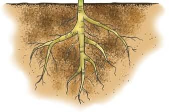 Raiz - Partes da Planta