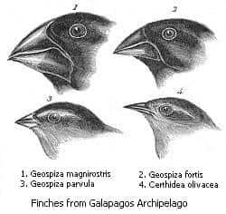 Tentilhões observados por Darwin com seus diferentes bicos.