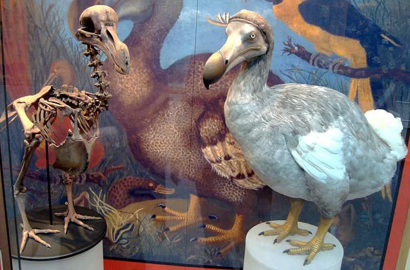 Esqueleto e Modelo de um Pássaro Dodô exposto no Museu de História Natural da Universidade de Oxford.