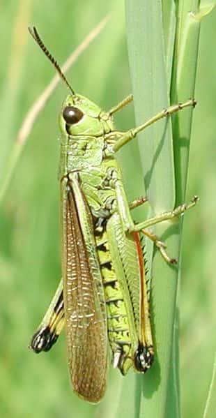 Stethophyma grossum, uma espécie de gafanhoto.