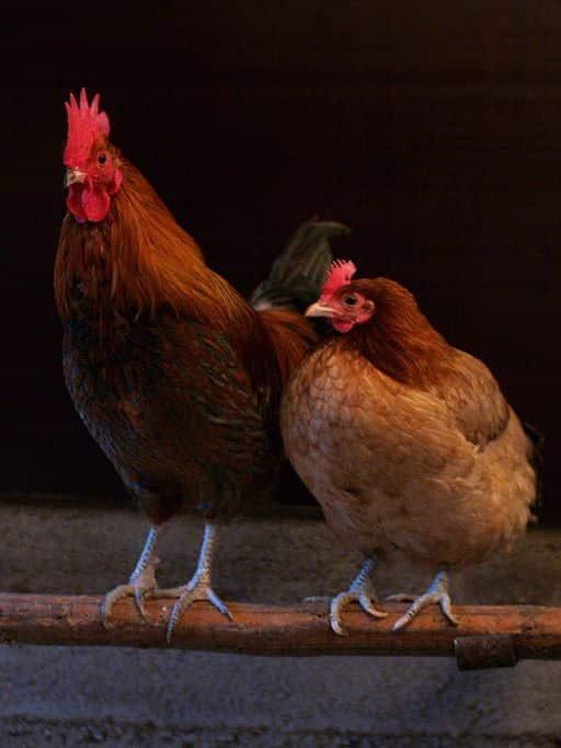 Os machos de galos competem pela fêmea e pelo território do galinheiro.