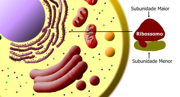 Ribossomos são encontrados livres no citoplasma ou associados ao Retículo Endoplasmático Rugoso. São formadas por duas subunidades: uma menor, onde os RNATs se pareiam, e outra maior, onde ocorrem as ligações peptídicas entre os aminoácidos e formação da cadeia polipeptídica