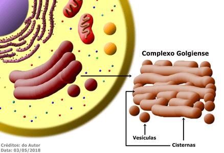 O Complexo Golgiense é encontrado, geralmente, na região central da célula, associado ao Retículo Endoplasmático Liso e Rugoso