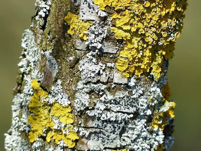 Os liquens são formados por fungos e algas que se associam de modo que os fungos fornecem nutrientes e abrigo para as algas, e estas fornecem matéria orgânica da fotossíntese.