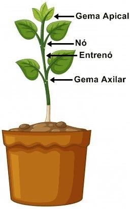 Estrutura externa do caule.