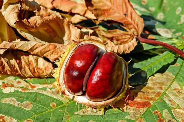 Castanha como exemplo de fruto seco deiscente.