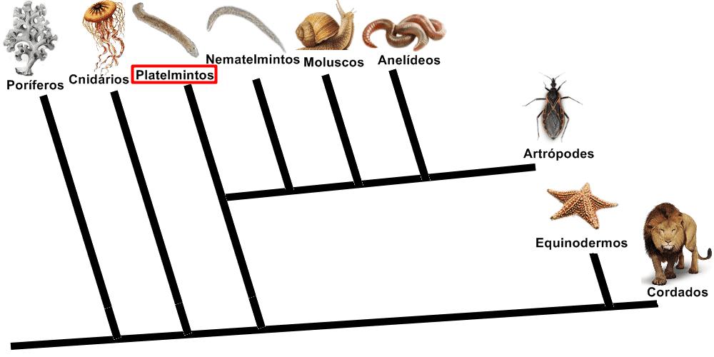 Árvore filogenética mostrando o filo dos platyhelminthes e os filos formados a partir dele.