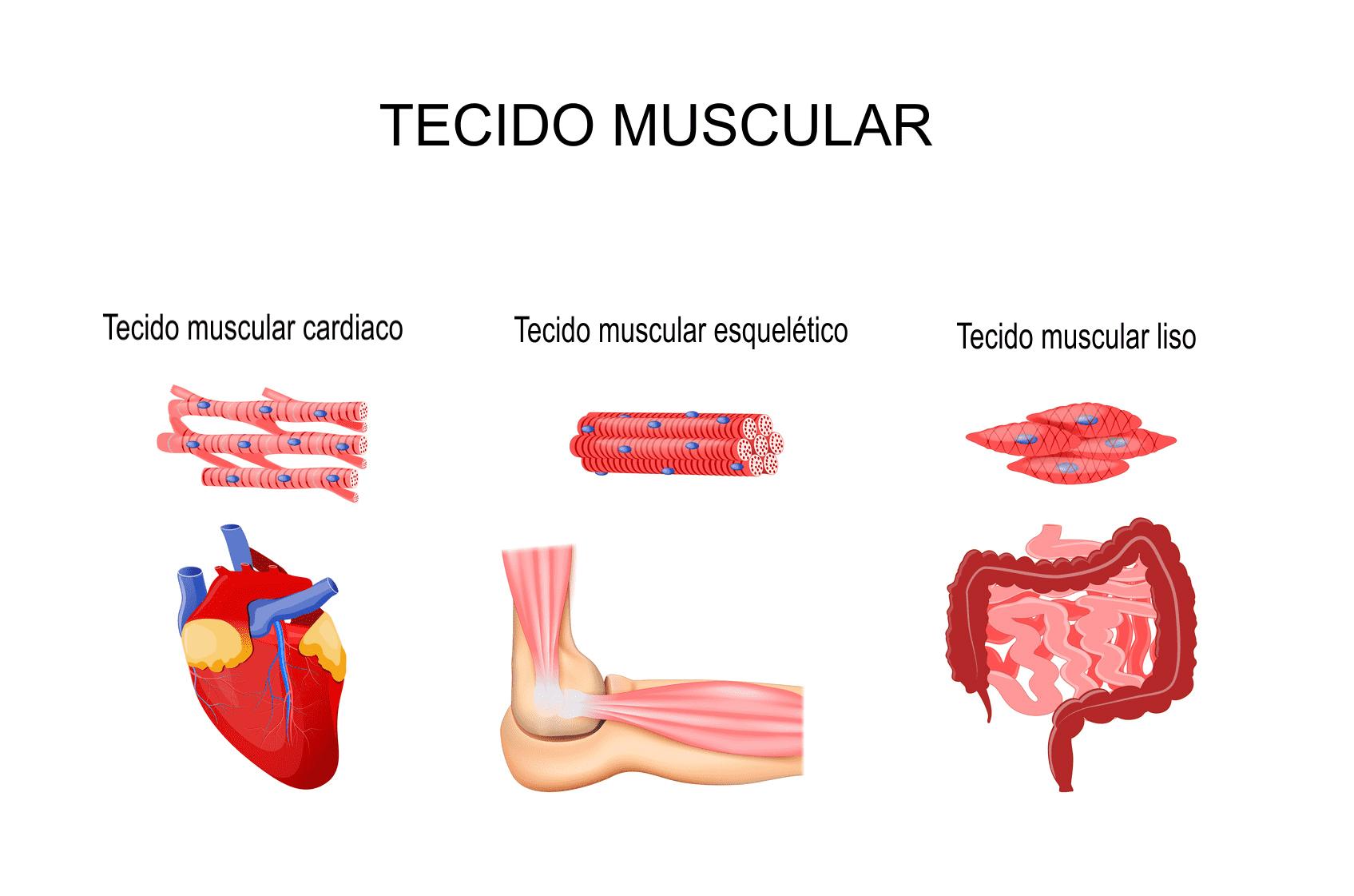 Ilustração dos três tecidos musculares: estriado esquelético, estriado cardíaco e liso.