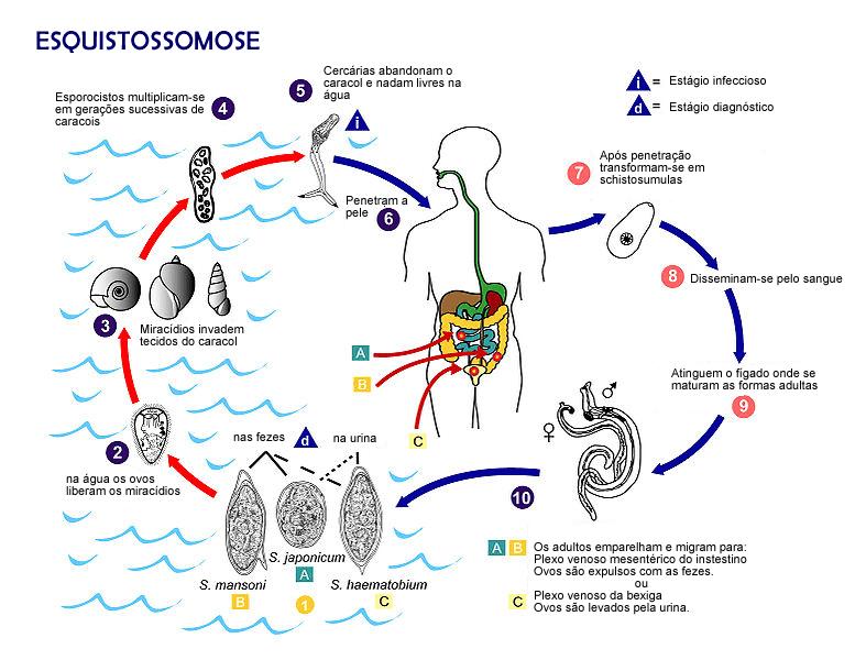 Ciclo de vida do Schistosoma.