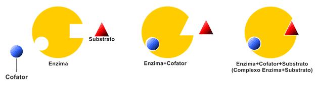 Cofatores agem mediando a atividade enzimática.