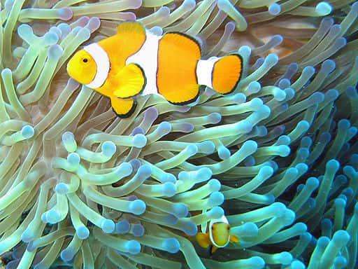 Peixes Palhaços em uma Anêmona.