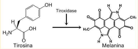 Conversão da tirosina em melanina pela ação da enzima tirosinase.