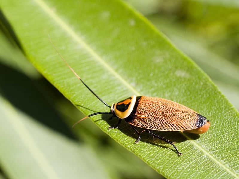 A barata é um inseto onívoro.