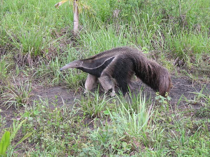 Tamanduá-bandeira, mamífero típico do bioma Pantanal.