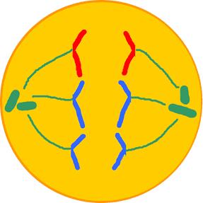 Célula Animal em anáfase.