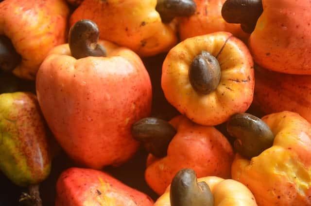 Caju como pseudofruto, sendo gerado a partir do desenvolvimento do pedúnculo floral.