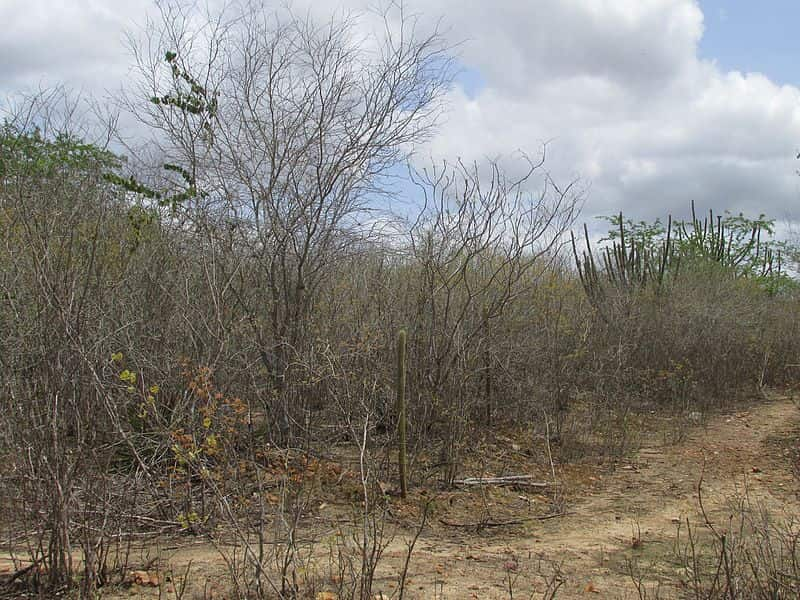 Caatinga na estação seca.