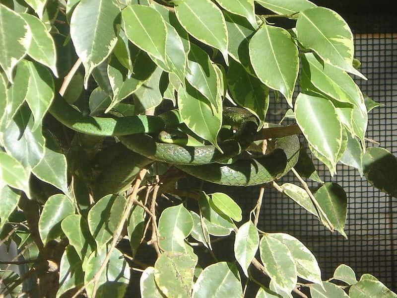 Cobra-cipó, réptil encontrado no bioma Pradaria.