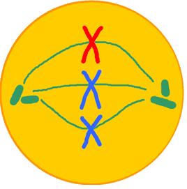 Célula animal em metáfase.