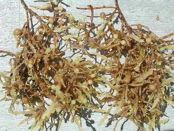 Sargassum sp. Gênero mais conhecido de alga marrom