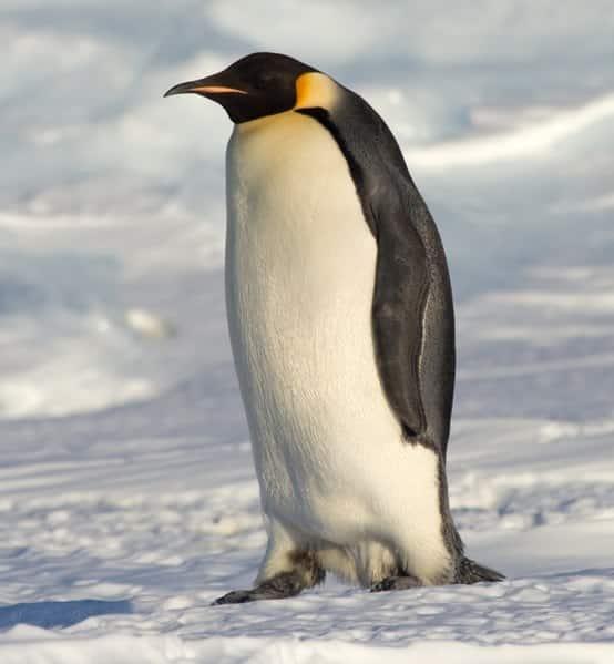 Pinguim imperador, uma ave que não possui a capacidade de voo.