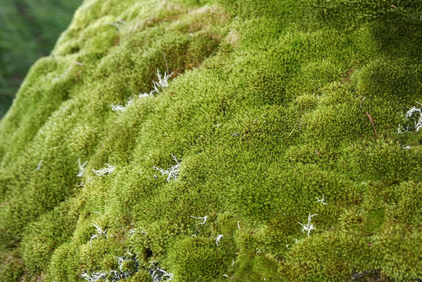 Exemplo de um musgo