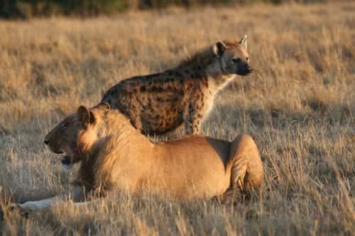 Leão e hiena.