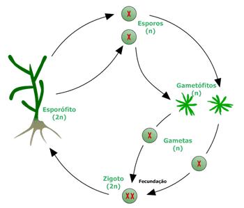 Ciclo de vida sexuado de uma alga parda multicelular. O processo chama-se alternância de gerações porque, ao longo do ciclo de vida das algas multicelulares sexuadas, são formadas estruturas diplóides (esporófitos) e haplóides (gametófitos).
