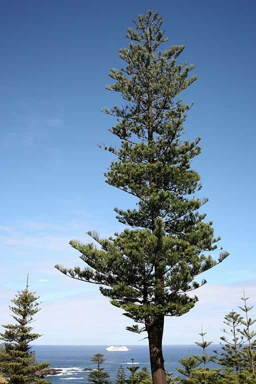 Araucaria heterophylla.