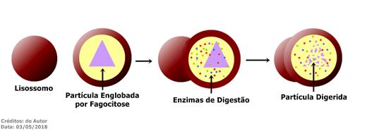 O lisossomo é uma bolsa membranosa formada no Complexo Golgiense. Contém enzimas digestivas que se fundem com a membrana, englobando e digerindo partículas por meio da fagocitose.