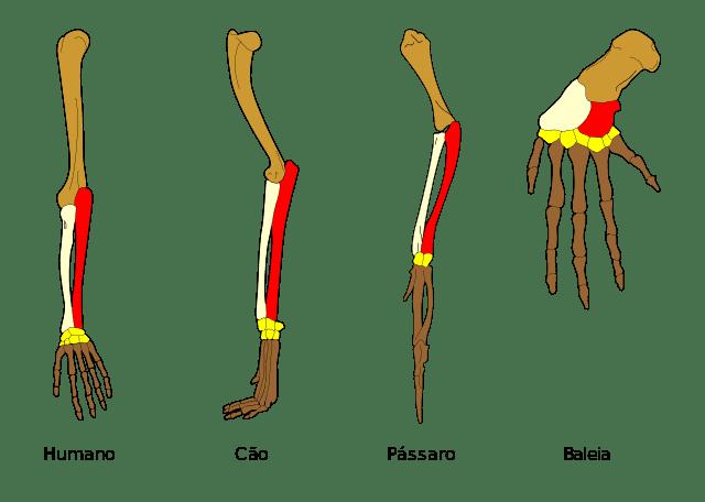 Homologia dos membros superiores de vertebrados.