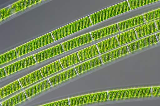 Alga verde conhecida como Spirogyra ou Espirogina.