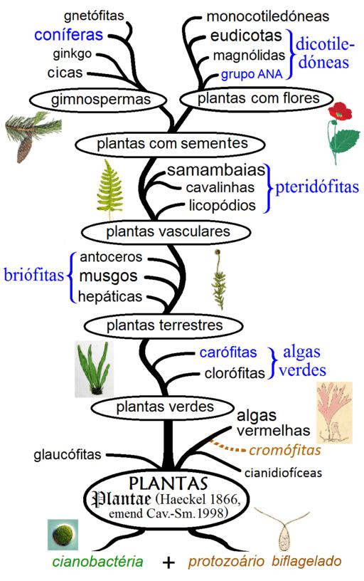 Filogenia das plantas.