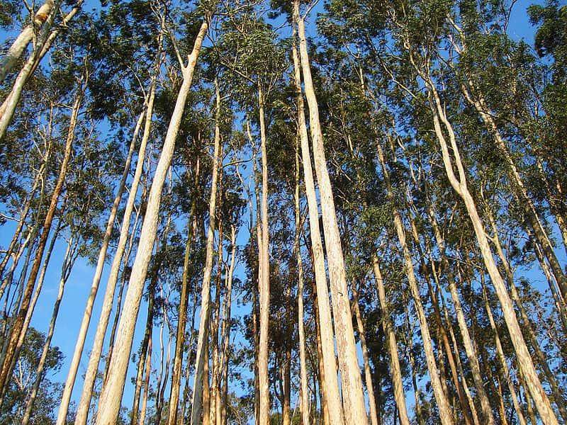 """Floresta de Eucalipto, também chamada de """"deserto verde"""" por alguns ambientalistas."""