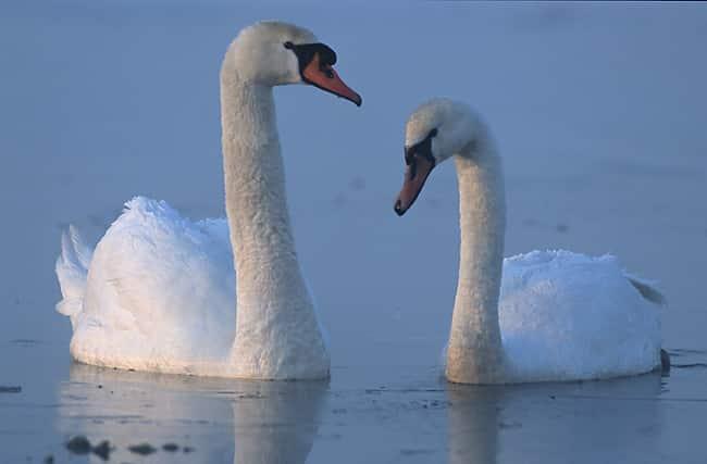 Casal de Cisnes.