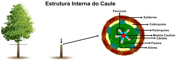 Estrutura do caule primário