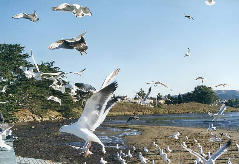 A gaivota é uma ave que pode apresentar hábitos herbívoros, frutívoros ou carnívoros.