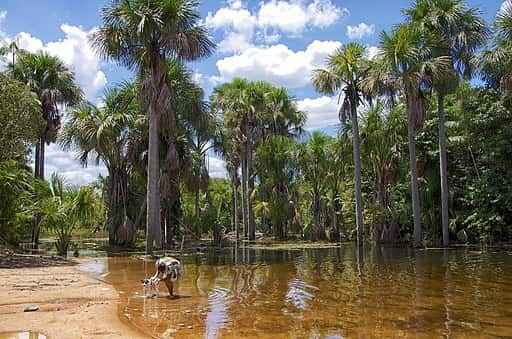Buritis localizados no Maranhão.