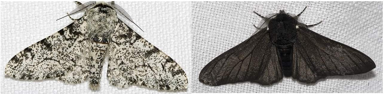 Traça (Biston betularia) branca e sua variação de coloração Preta.