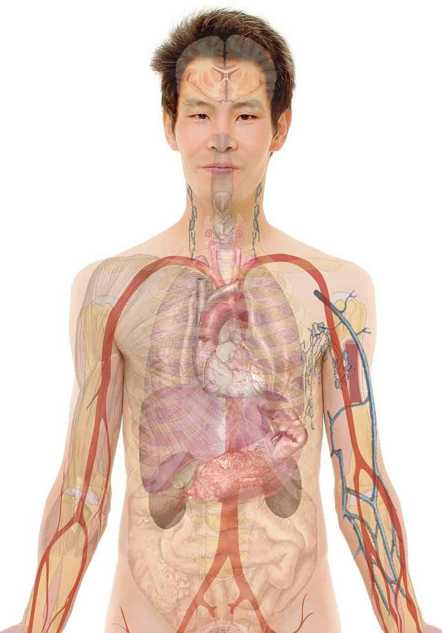 Corpo humano, principal objeto de estudo da fisiologia humana.