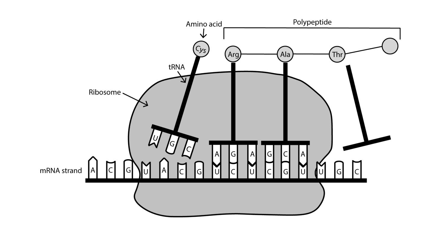 Código Genético e Síntese de Proteína