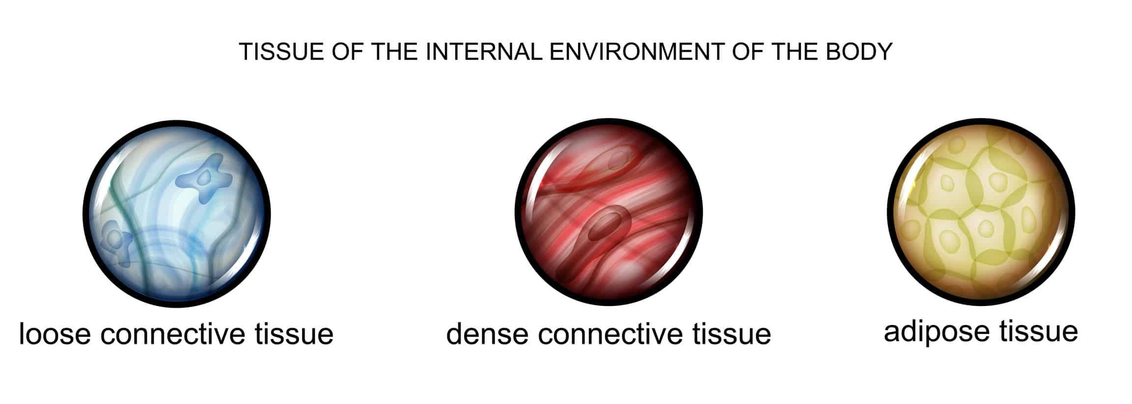 Ilustração das células do tecido conjuntivo frouxo, tecido conjuntivo denso e tecido conjuntivo adiposo.