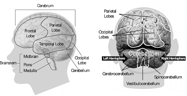 Regiões do cérebro humano.