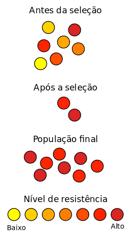 Seleção Natural de bactérias resistentes a um antibiótico.