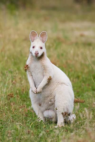 Macropus rufogriseus albino, uma espécie de marsupial como os cangurus.