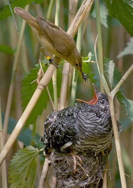 Filhote de Cuco sendo alimentado e abrigado no ninho de um rouxinol pequeno.
